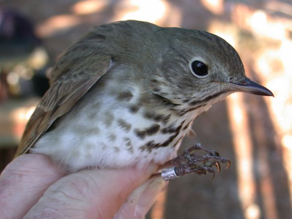 Second-year Hermit Thrush