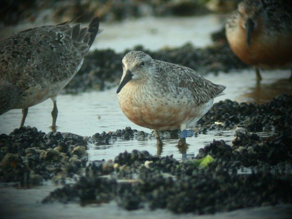 Many Shorebirds Have Auxiliary Color Markers