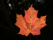A Special Maple Leaf