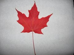 Our red maple leaf...