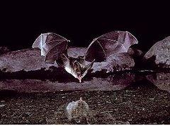 Help Bats