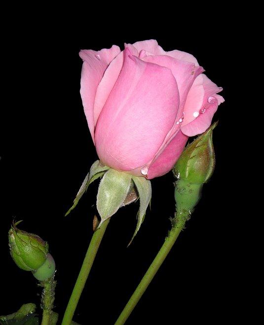 Ti regalero una rosa