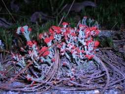 The British Soldier Lichen