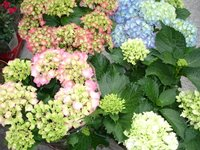 Hortensias en blanco, rosa o azul