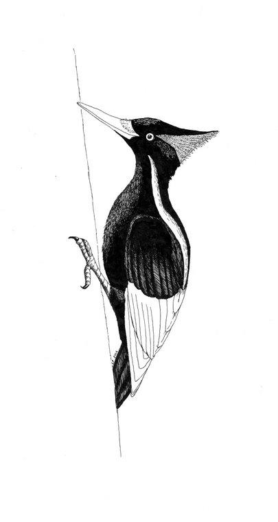 Ivory-billed Woodpecker (Campephilus Principalis)