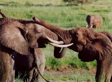 Elephants rumbling together