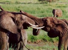 Elephants rumbling together