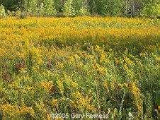 Field full of goldenrods