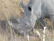 Rhino grazing peacefully