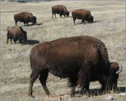 Buffalo's share grazing