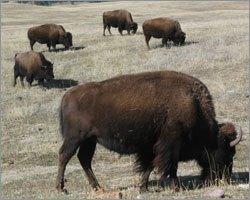 Buffalo's share grazing