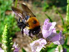 Virginia Bee.