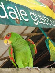 My friend, the parrot, at the morning fruit shop...