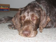 Ber-Our German Wire Hair Pointer