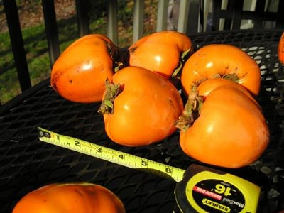 Persimmons in the Sun with a Tape Measure