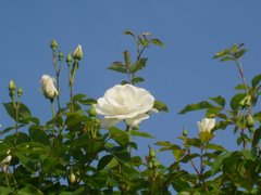 Summer Roses in Hachioji