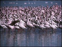 The Lesser Flamingos at Lake Larton