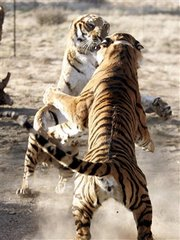 South China Tigers in Action!