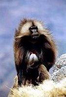 Ethiopian Gelada Baboon