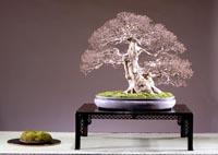 Bonsai su Nihon Style