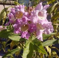 My Chitalpa Blossoms