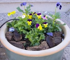 Violas, Pansies, and Vinca