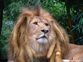African Dread Lyon