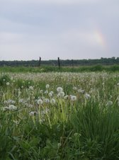 Dandelions and Rainbows