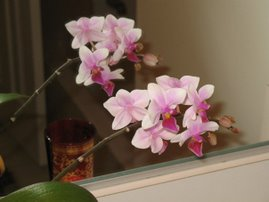 Mini Phal in Bloom
