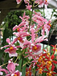 My Office Orchid: Oncda. Flaming Pole 'Kalapana'