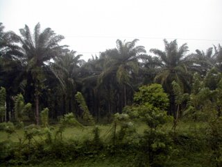 African palm plantation