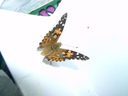 Our Painted lady