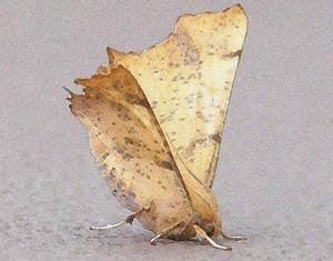 Beige Moth