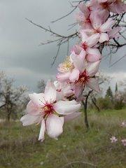 Flores de almendro en Granada