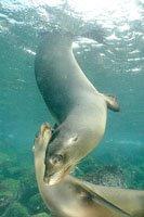 Galapagos Lobos marinos....