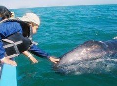 Ballenas amistosas en Bahía de Los Angeles