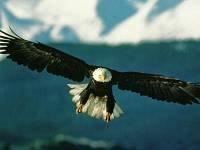Shqiponja - Eagle