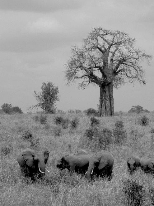Tarangire - Baobab
