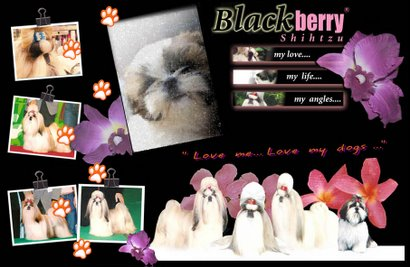Blackberry Shih Tzu