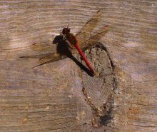 Red The Dragon Fly