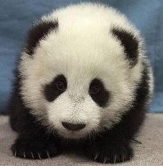 Cute cuddly Panda