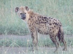 WHAT DOES THIS ANIMAL HAS IN COMMON WITH THE ODMKENYA LEADERS