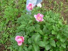 Rosas albardeiras no Monte da Cerca