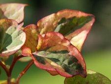 Heartleaf  (Leaf look like heart)