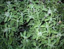 ladanum plant