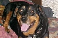 Rottweiller Maddy-Me