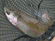 Wild Boise River Rainbow