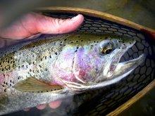 Boise River Wild Rainbow