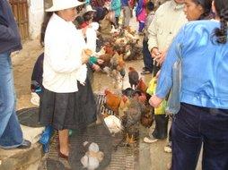 pollos, gallinas y patos...