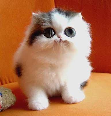 kucing wat comey
